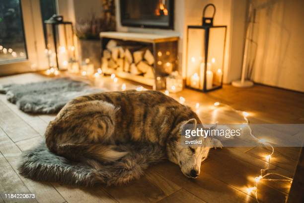 dogs winter day - christmas dog stock pictures, royalty-free photos & images