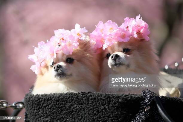 dogs with corolla of kawazu cherry blossoms - japanese spitz stock pictures, royalty-free photos & images