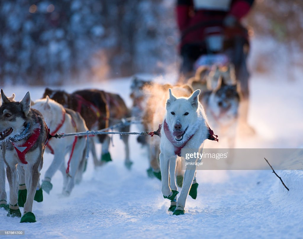 Dogsled team nearing checkpoint. : Stock Photo
