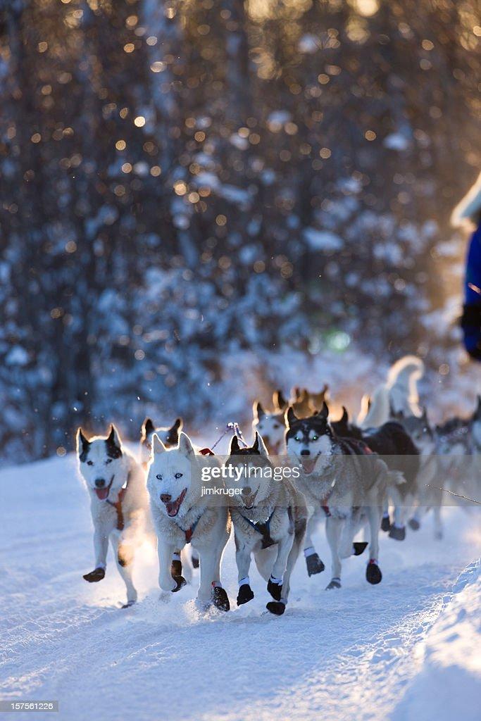 Dogsled team rounding corner. : Stock Photo