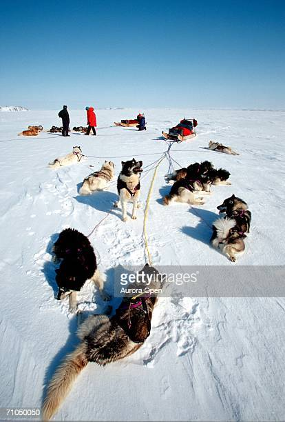 Dogsled teams rest during trip across Frobisher Bay, Baffin Island, Nunavut, Canada.