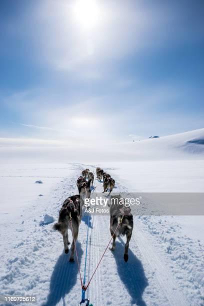 dogsledding on a mountain peak. - cão de puxar trenó imagens e fotografias de stock