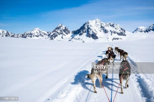 山頂で犬を飼う。 - 犬ぞりに乗る ストックフォトと画像