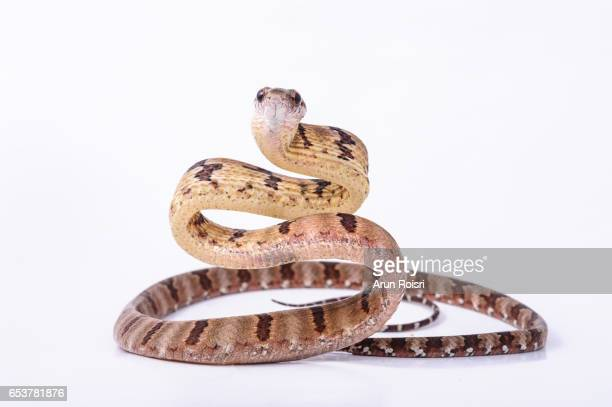 Dog-toothed Cat Snake - Boiga cynodon