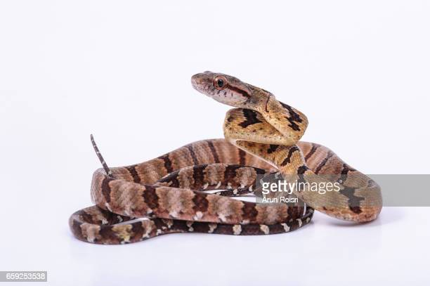 dog-toothed cat snake - boiga cynodon - cat snake stock photos and pictures