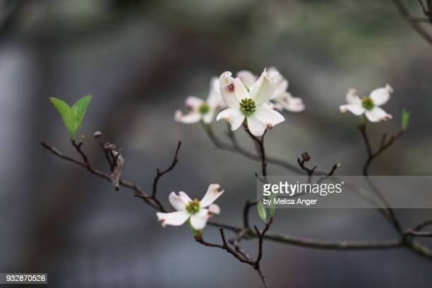 Dogwood blooms in the fog