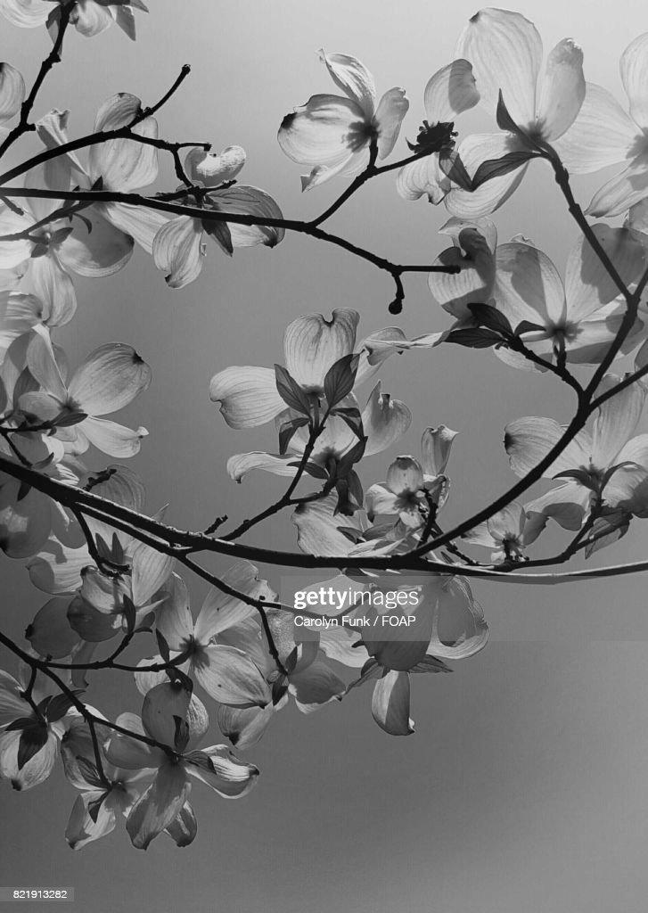 Dogwood blossom in springtime : Stock Photo