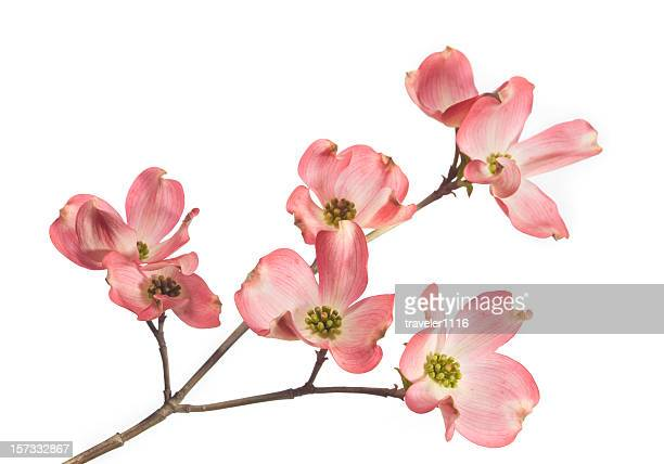 dogwood blossom - branch plant part stock pictures, royalty-free photos & images