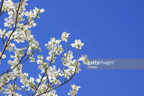 Dogwood Blossoms Against Blue Sky With Copy Space
