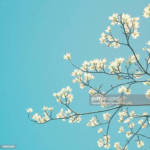 Dogwood Blossoms Against Sky