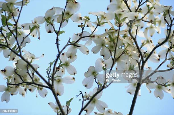 dogwood blossoms - dogwood blossom stock pictures, royalty-free photos & images