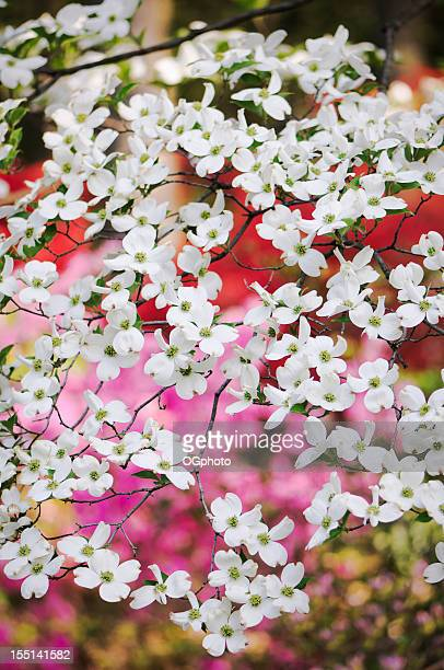 dogwood blossoms with colorful garden background. - dogwood blossom stock pictures, royalty-free photos & images
