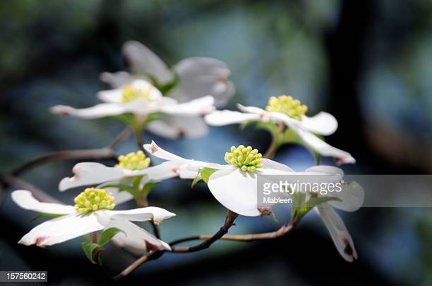 dogwood branch, shallow dof - dogwood blossom stock pictures, royalty-free photos & images
