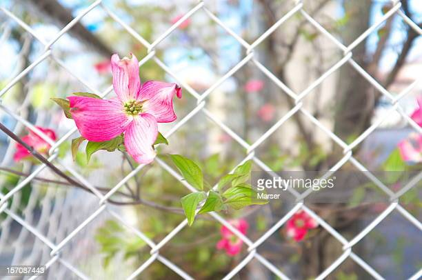 Dogwood flower in the fence