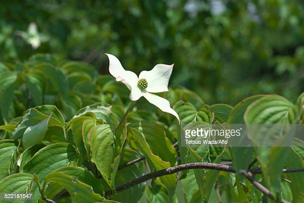 dogwood flower - kousa dogwood stock pictures, royalty-free photos & images