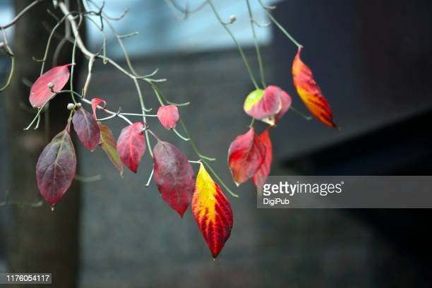 dogwood in autumn - kousa dogwood stock pictures, royalty-free photos & images