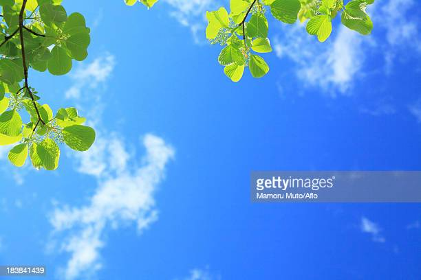 Dogwood leaves and blue sky with clouds