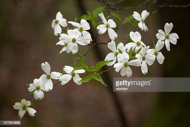 dogwood sanctuary (xxl) - dogwood blossom stock pictures, royalty-free photos & images