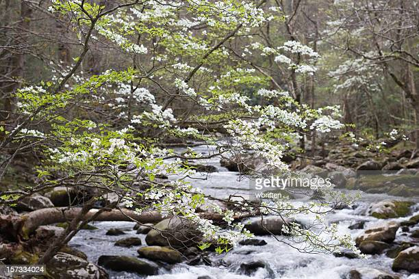 dogwood time in the smokies - dogwood blossom stock pictures, royalty-free photos & images