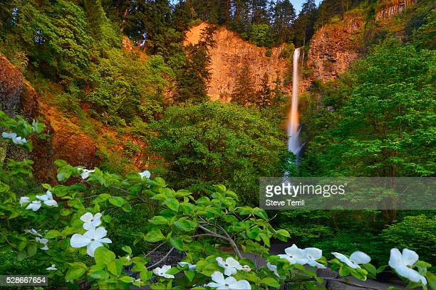 dogwood tree in bloom below multnomah falls - dogwood blossom stock pictures, royalty-free photos & images