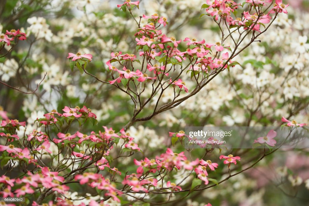 A dogwood tree is seen during a practice round prior to the start of the 2017 Masters Tournament at Augusta National Golf Club on April 3, 2017 in Augusta, Georgia.