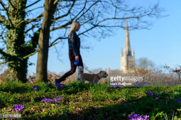 A doh walker making the most of the early spring weather with Purple crocuses in bloom on the banks of the River Wensum in the centre of Norwich with...