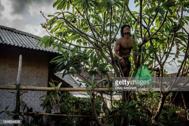 Dokar driver Nyoman Yasa 35 picks flowers for religious offerings after a days work on October 14 2012 in Denpasar Bali Indonesia The Dokar is...