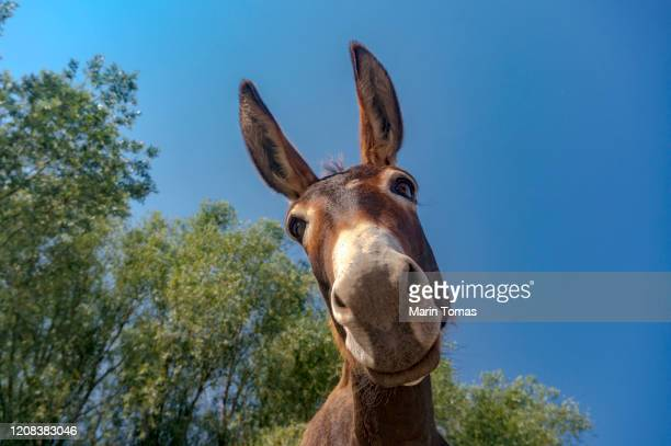 dokney portrait - donkey stock pictures, royalty-free photos & images