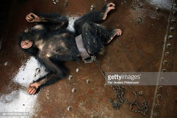 Dola, a chimpanzee, who was bought for $25, rests on the deck of a boat on March 9, 2006 in Kisangani, in Congo, DRC. Dola died a day later from an...