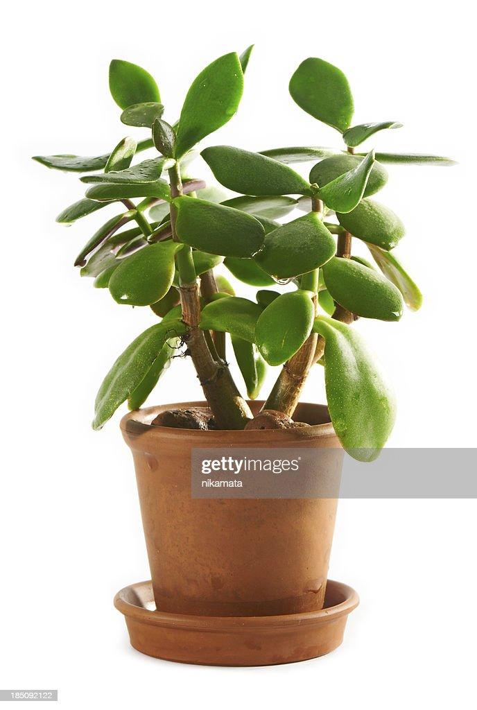 Dollar plant or money tree (Crassula ovata) : Stock Photo