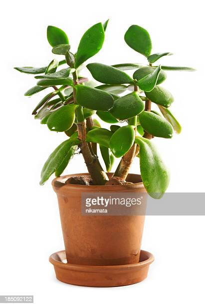 Dollar plant or money tree (Crassula ovata)