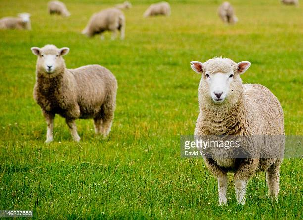 dolly - sheep stock pictures, royalty-free photos & images