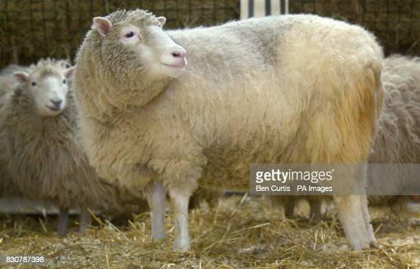Dolly the sheep makes an appearance for the media at the Roslin Institute near Edinburgh after it was revealed that she is suffering from arthritis...