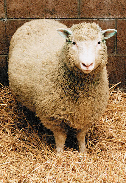 GBR: 5th July 1996 - Dolly The Sheep Is Born