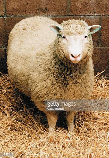 Dolly the Sheep, the world's first cloned mammal, circa 2000. Veterinarians gave Dolly a lethal injection February 14, 2003 at Scotland's Roslin...