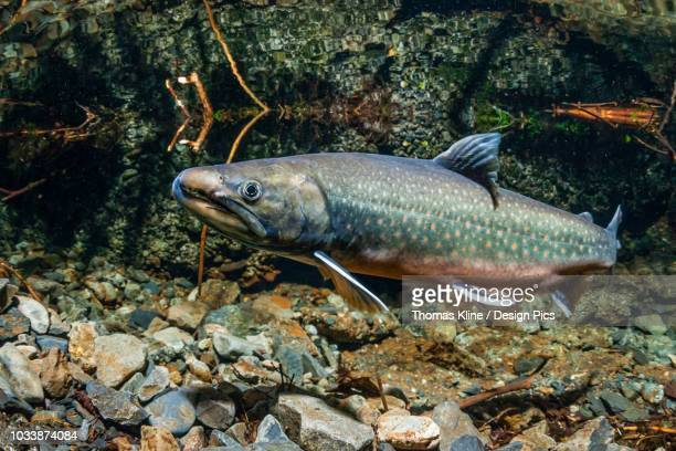 dolly varden charr (southern form - dolly dots stockfoto's en -beelden