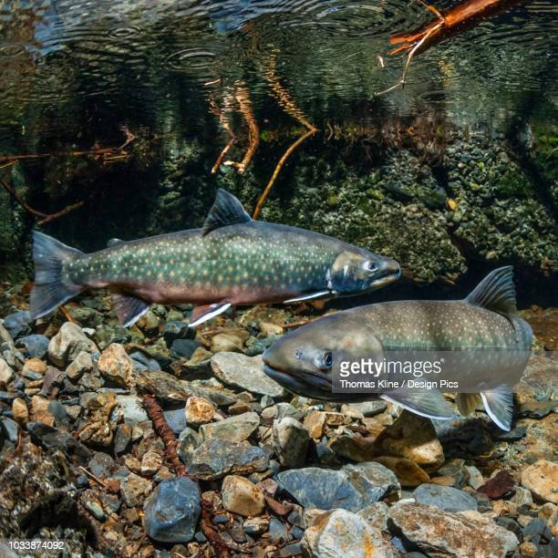dolly varden (southern form - dolly dots stockfoto's en -beelden