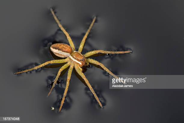 Dolomedes fimbriatus on black Water