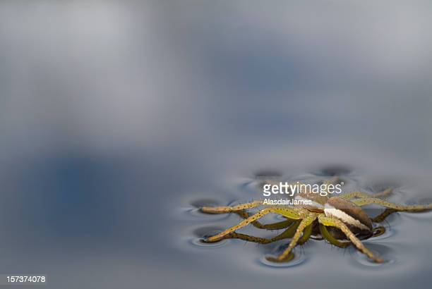 Dolomedes fimbriatus with dimples
