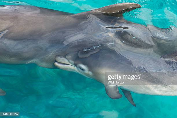 Dolphin calf nuzzling up to her mother Tursiops truncatus Notice the mottled coloring due to her getting new skin and losing the old skin Also notice...