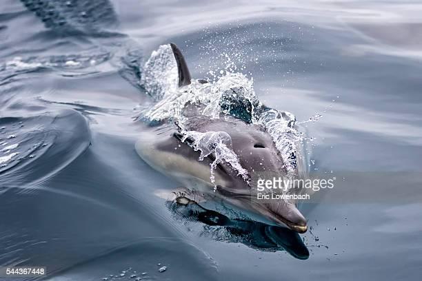 Dolphin Cruising on the Ocean Surface