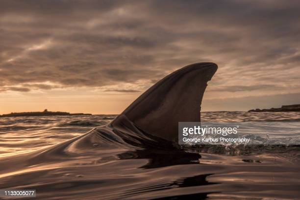 dolphin fin sticking out of water - protruding stock pictures, royalty-free photos & images