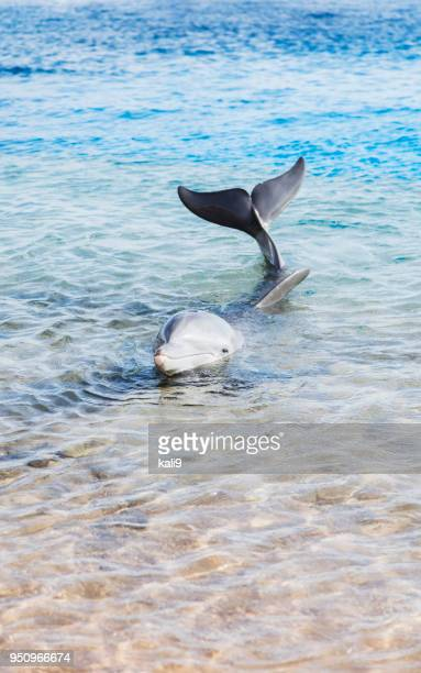 dolphin holding head and tail above water - cetacea stock photos and pictures