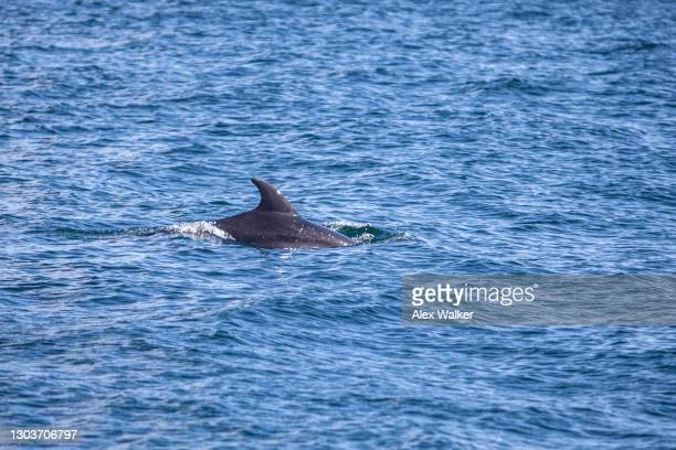 dolphin in calm blue waters - falmouth england stock pictures, royalty-free photos & images