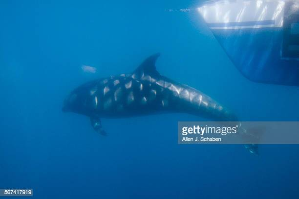 A dolphin is viewed through a glass window in the hull of Captain Dave's Dolphin and Whale Watching Safari 35foot sailing catamaran off the coast of...