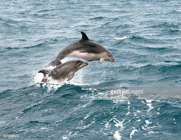 dolphin jump - dolphins stock photos and pictures