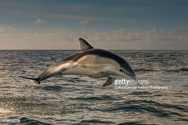 dolphin jumping over water - dolphin stock photos and pictures