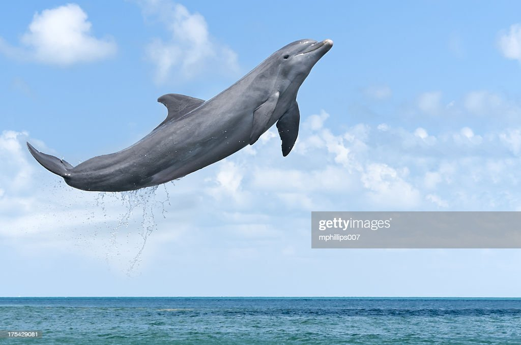 Dolphin Jumping : Stock Photo