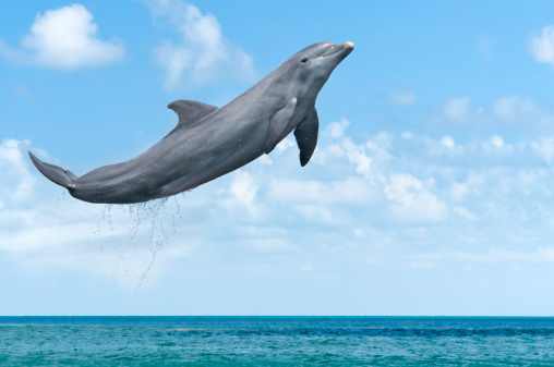 Dolphin Jumping 175429081