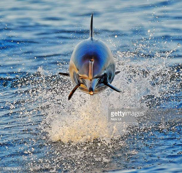 October 22: A dolphin jumps out of the water in the Pacific Ocean October 22. 2020 in Long Beach, California.